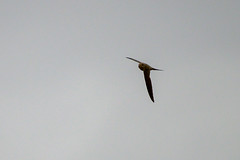 African Palm-Swift (chlorophonia) Tags: birds animals vertebrates africanpalmswift apodidae animalia cypsiurusparvus swifts kleinwindhoek khomasregion namibia