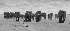 African Elephants - Loxidonta africana (rosebudl1959) Tags: zebraplainsamboselicamp africanelephant amboseli november 2019