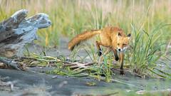 ... Tippy Toe ... (Grandpops Woodlice) Tags: fox redfox alaska silversalmoncreek lakeclarknationalpark