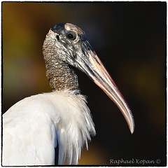 Wood Stork (RKop) Tags: raphaelkopanphotography nikon nature wildlife birds d500 600mmf4evr florida tampa