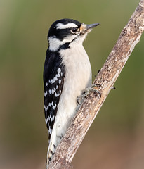 Female Downy Posing (tresed47) Tags: 2019 201912dec 20191204homebirds birds canon7dmkii chestercounty content december downywoodpecker fall folder home pennsylvania peterscamera petersphotos places season takenby us woodpecker