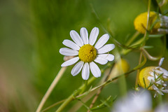 tiny flower - chamomile (nickant44) Tags: pentax tamron adaptall flower australia bokeh 52a k100d chamomile