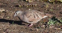Ruddy Ground Dove, Columbina talpacoti (Dave Beaudette) Tags: birds ruddygrounddove columbinatalpacoti reidpark tucson pimacounty arizona