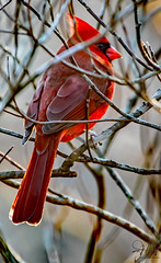 2019.12.07.8793 Northern Cardinal (Brunswick Forge) Tags: 2019 grouped virginia botetourtcounty nature wildlife outdoor outdoors animals animalportraits day clear autumn nikond500 nikkor200500mm nikkor14xteleconverter afternoon sunset bird birds animal