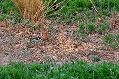 African Hoopoe (chlorophonia) Tags: eurasianhoopoe birds upupidae eurasianhoopoeafrican animals vertebrates animalia hoopoes upupaepops upupaepopsafricana kleinwindhoek khomasregion namibia