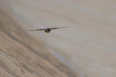 Rock Martin (chlorophonia) Tags: birds rockmartin vertebrates animals hirundinidae animalia ptyonoprognefuligula swallows kleinwindhoek khomasregion namibia
