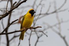 Southern Masked-Weaver (chlorophonia) Tags: birds animals namibia animalia vertebrates ploceidae southernmaskedweaver ploceusvelatus kleinwindhoek khomasregion