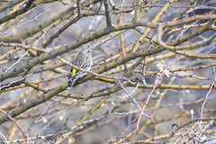 Black-throated Canary (chlorophonia) Tags: fringillidae birds animals blackthroatedcanary vertebrates animalia crithagraatrogularis crossbillsandallies siskins kleinwindhoek khomasregion namibia