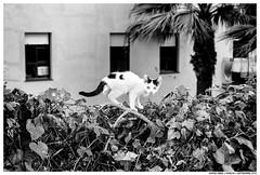 . . (Matías Brëa) Tags: gato cat calle street streetphotography blancoynegro blackandwhite bnw mono monochrome monocromo