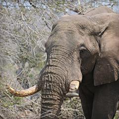 elephant missing a teeth (MiChaH) Tags: sa southafrica zuidafrika wildlife wildlifephotography kruger krugernationalpark krugerpark 2019 elephant olifant missingateeth