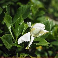 d o n a l d . . . #white #RGB #DS #JayaDwipa22 #peace13 #normallife #jempiring #donaldduck (tonyrurus) Tags: white rgb ds jayadwipa22 peace13 normallife jempiring donaldduck