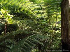 Ferns greeny softness (Julie V. Simpson Photographer) Tags: green trees leaves nature shadows naturalworld instadaily instagram instanature naturephotography naturelovers natureza natureperfection newzealand ferns forest nzbush