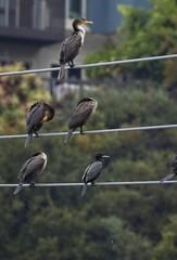 Neotropic Cormorant (christopheradler) Tags: california cormorant neotropic phalacrocorax brasilianus