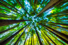 Vanishing point under the tree canopy (stewart.watsonnz) Tags: light plant tree green art nature graphics pattern vegetation park sky grass closeup pine tile photography leaf moss mosaic turquoise symmetry birch botany organism woodyplant abstract blur forest movement branch gazebo ornament redwood dye cosmetics icm tapestry floraldesign stockphotography fractalart pinefamily motion up point looking perspective foliage vanishing diminishing truncks