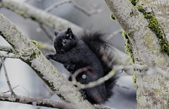 Squirrel (robinlamb1) Tags: nature outdoor animal rodent squirrel greysquirrel