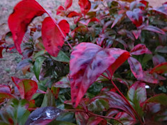 Red Leaves At Dusk. (dccradio) Tags: lumberton nc northcarolina robesoncounty outdoor outdoors outside december weekend saturday saturdayevening evening goodevening canon powershot elph 520hs dusk foliage leaf redleaf redleaves leaves plant