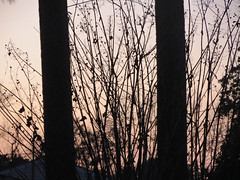 Tree Trunks And Branches. (dccradio) Tags: lumberton nc northcarolina robesoncounty outdoor outdoors outside december weekend saturday saturdayevening evening goodevening canon powershot elph 520hs sky tree trees silhouette branch branches treebranch treebranches dusk photooftheday photo365 project365