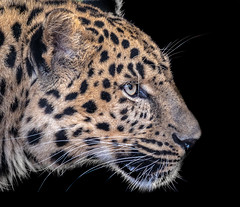 A Rare Dad (helenehoffman) Tags: cat mammal feline sandiegozoo carnivore amurleopard pantherapardusorientalis panthera felidae fareasternleopard conservationstatuscriticallyendangered animal bigcat coth5 alittlebeauty coth specanimal specanimalphotooftheday