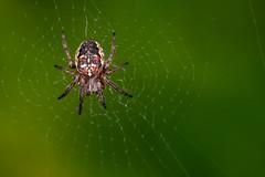 An Odd Cross - _TNY_8365 (Calle Söderberg) Tags: macro canon canon5dmkii canoneos5dmarkii canon5dmarkii 5d2 canonef100mmf28usmmacro raynox dcr250 flash twinflash yongnuo yn14ex arachnida araneae araneomorphae araneus diadematus diademspider cross crossspider crossorbweaver europeangardenspider korsspindel kreutzspinne spider spindel spinne hjulspindel web spiderweb spindelnät center black f22