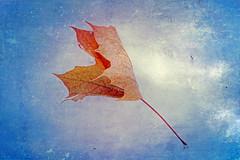 Falling Into Winter (Dave Linscheid) Tags: stilllife snow fall autumn winter leaf maple texture textured smartphotoeditor butterfield watonwancounty minnesota cold