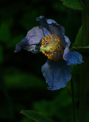 Himalayan Blue poppy (Maureen Pierre) Tags: christchurchbotanicgardens xt2 fujifilm flower light colour macro