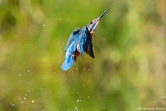 Martin pescatore _064 (Rolando CRINITI) Tags: martinpescatore uccelli uccello birds ornitologia avifauna sangenuario castellapertole natura