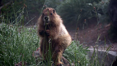 Hoary Marmot (shesnuckinfuts) Tags: hoarymarmot marmotacaligata mtrainiernationalpark goldengatetrail shesnuckinfuts august2019 marmot nature wildlife hiking