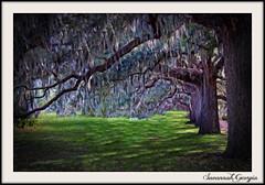 Savannah Live Oaks (fine art by Christy) Tags: savannahgeorgia historicsavannah oldtree liveoak spanishmoss tree painting treepainting