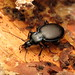 Small Snail-eating Ground Beetle
