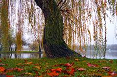 Salcie la mal (Dumby) Tags: landscape bucurești românia nature sector3 titan ior autumn fall colors outdoor park leafs foliage