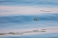 Damselfly Surfing on a Leaf (Duncan Rawlinson - Duncan.co) Tags: 1000islands 1dbbcgst8pvsmsy2vhfdjxndpaebauqioq 5dsr animal anisoptera canada canon canoneos5dsr damselflies damselflysurfingonaleaf dragonflysurfing dragonflysurfingonatinyleaf duncanrawlinson duncanrawlinsonphoto duncanrawlinsonphotography duncanco green odonata ontario photobyduncanrawlinson shotwithcanoneos5dsr spring summer summer2019 summer20191000islandsontariocanada wild wildlife zygoptera background beautiful beauty blue body bright bug closeup color colour creature damselfly dragonfly environment fauna fly fragility httpsduncanco httpsduncancodamselflysurfingonaleaf httpsenwikipediaorgwikidamselfly insect insects isolated leaf life natural nature outdoor plant red resting river sitting slim small surfing thin water wing wings