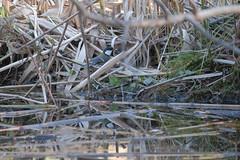 T3SB8901 (jojotaikoyaro) Tags: zenpukuji suginami tokyo japan fujifilm bird animal nature wildlife xt3 xf100400mm