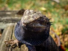 2019 Bearded Dragon-081152 (Life is so Short) Tags: beardeddragon burnettheads fauna