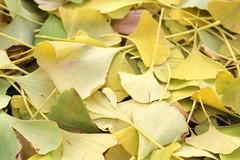 332/365 Ginkgo Leaves