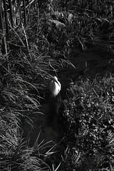 鷺 (Architecamera) Tags: blackwhite blackandwhite bird d750 monochrome river nature