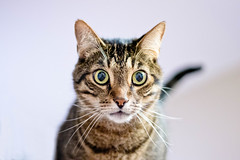 Paris : 2 (sundaygoldphotography) Tags: cat kitty grey gray tabby green eyes bright ears tail nose cute pet
