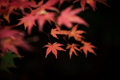 Portrait of Autumn #7 (somazeon) Tags: f28 35100mm gx7 lumix panasonic japan maple red autumn