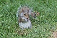 Nut found. (tony allan tony allan) Tags: squirrel greysquirrel wildlife grass nature naturalworld m42 manualfocus legacyglass lens nikond5300 hoya200mmlens
