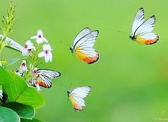 Follow  Me  (¥) (¥) (yadhavan.c) Tags: ckphotography yadhavancphotography butterfly backyard garden flower macro bokeh p naturescene nature park