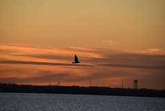 Bird in flight (Andrew Penney Photography) Tags: lakehefner atthelake atl sunset sunsetorangepearl lake water okc