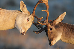 Duelling Bucks (andy_AHG) Tags: wildlife winter stag fallowdeerbuck antlers animals nikond300s yorkshire rutting