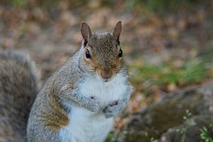 The poser poses 2. (tony allan tony allan) Tags: squirrel greysquirrel nature naturalworld wildlife m42 manualfocus legacyglass lens nikond5300 hoya200mmlens