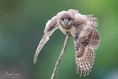 Rainmaker (Megan Lorenz) Tags: burrowingowl owl owlet bird avian birdofprey nature wildlife wild wildanimals wet rain raining soaking humor florida mlorenz meganlorenz