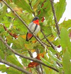 Dicaeum hirundinaceum 2 (Hastings, Macleay and Coffs Birds) Tags: lake cathie nsw australia ausbird ausbirds barry m ralley barrymralley dicaeum hirundinaceum mistletoebird