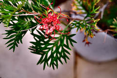 Covered in Ash (zassle) Tags: flora flower grevillea camera:make=fujifilm geocountry geocity geostate geolocation camera:model=xpro2 exif:isospeed=200 exif:model=xpro2 exif:make=fujifilm exif:focallength=35mm exif:aperture=ƒ22 exif:lens=xf35mmf14r