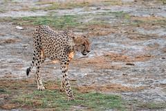Gepard / Cheetah (brainstorm1984) Tags: acinonyxjubatus botswana cheetah chobe chobenationalpark desertdeltasafaris elangeniafricanadventures gamedrive gepard maraboupan marsh predator raubtier safari savagekingdom savute savutegamereserve savutesafarilodge savuti savutichannel savutigamereserve savutimarsh wildfelinephotography wildlife