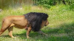 #Lion - 7823 (✵ΨᗩSᗰIᘉᗴ HᗴᘉS✵84 000 000 THXS) Tags: lion animal pairidaiza nature green belgium europa aaa namuroise look photo friends be yasminehens interest eu fr party greatphotographers lanamuroise flickering challenge sony sonydscrx10m4