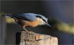 Sittelle torchepot (Sitta europaea) (boblecram) Tags: sitta europaea cavernicole bird oiseau sittelle torchepot grimpereau pic