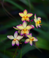 Orchids (ashockenberry) Tags: ashleyhockenberryphotography wild ecosystem eco forest habitat flower orchids beautiful yellow majestic nature naturephotography natural native petals stem green leaves hawaii botanical gardens oahu