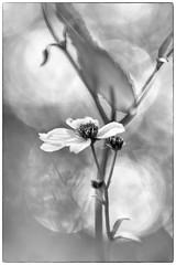 florecilla invernal (minutuuno) Tags: macro flor flower nature byn macrofotografia